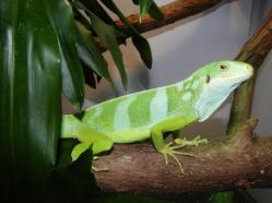 Male Fijian Iguana