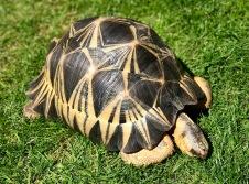 "Radiated Tortoise ""Hump"""