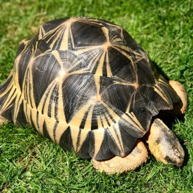 Hump the Radiated Tortoise