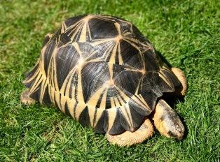 Hump the Radiated Tortoise