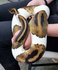 Patch the piebald Royal Python