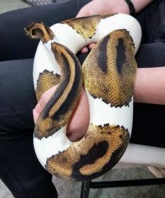 "Piebald Royal Python ""Patch"""