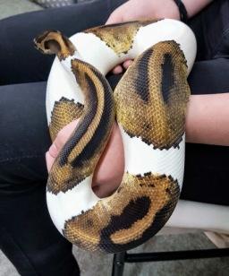 Patch the piebald Royal Python