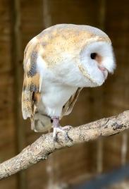 Kiwick the Barn Owl