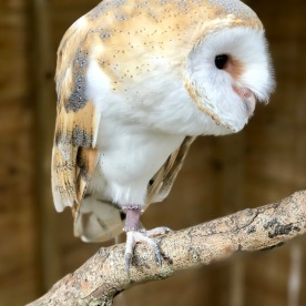 Kiwick the Barn Owl