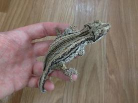 "Gargoyle Gecko ""Garg"""
