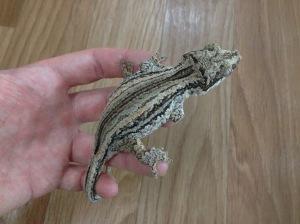 Gizmo the Gargoyle Gecko