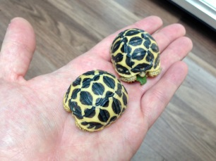 Baby Indian Star Tortoises