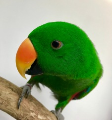 Freddie the Eclectus Parrot