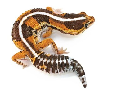 Togo the African Fat-Tailed Gecko
