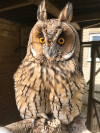 Oti the Long-Eared Owl