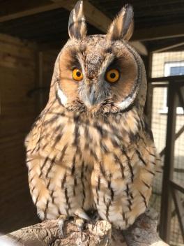Oti the Long-Eared Owl