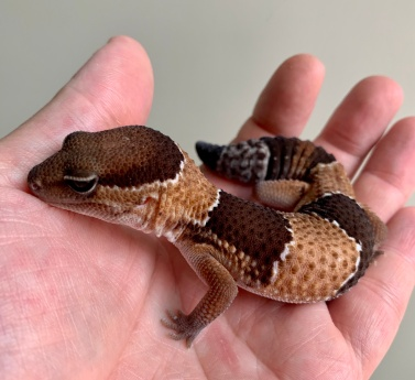Coco the Fat-Tailed Gecko
