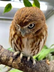 Pip the Brazilian Pygmy Owl