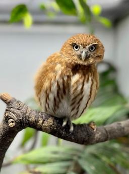 Pip the Pygmy Owl