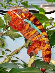 Rio the Panther Chameleon