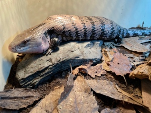 Barney the Blue Tongue Skink
