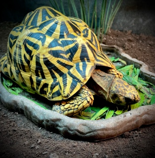India the Indian Star Tortoise