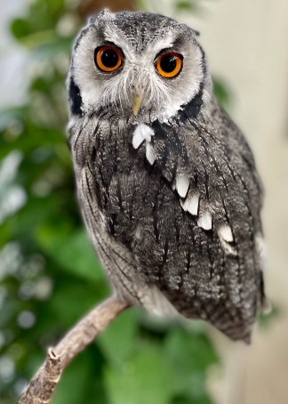 Misty the White-Faced Scops Owl