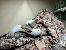 Patchy the Piebald Royal Python